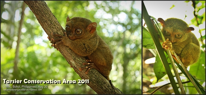 Bohol's Tarsier  --click on image for a full view :)